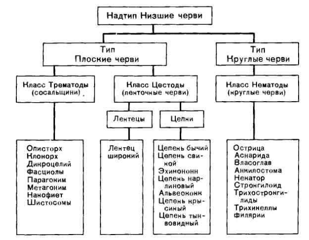 vlasoglav-klassifikatsiya-glistov